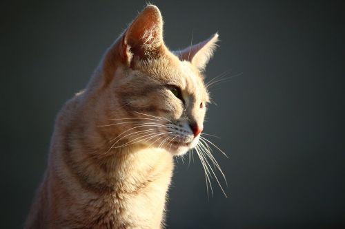 tiger cat mieze cat