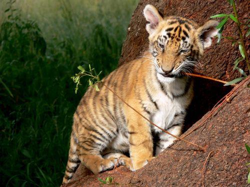 Tiger Cub Chewing Twig