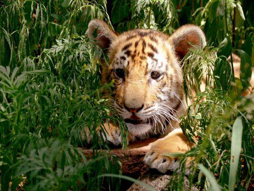 Tiger Cub In Leafy Hideout