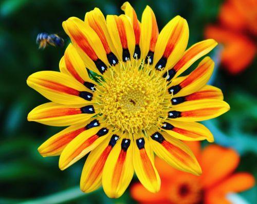 tigro gėlė,šviesus,spalvos,geltona,oranžinė,raudona,juoda,bičių,gamta,vasara,gėlė,spalvinga,žiedlapiai,natūralus,mielas,vabzdys,patrauklus,patrauklus