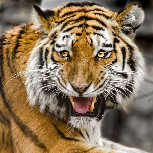 tiger head predator cat