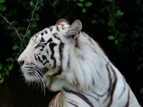 tiger head head portrait