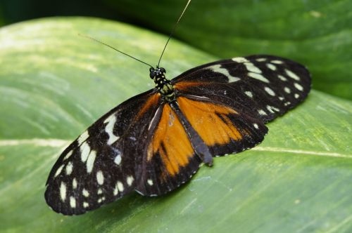 tiger longwing butterfly tropical