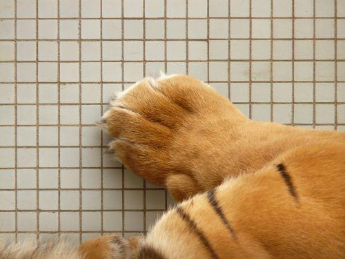 tiger paw paw sumatran tiger