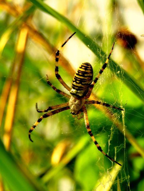 tiger spider wasp spider zebraspinne