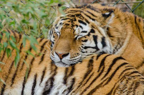 tigers sleeping big cats