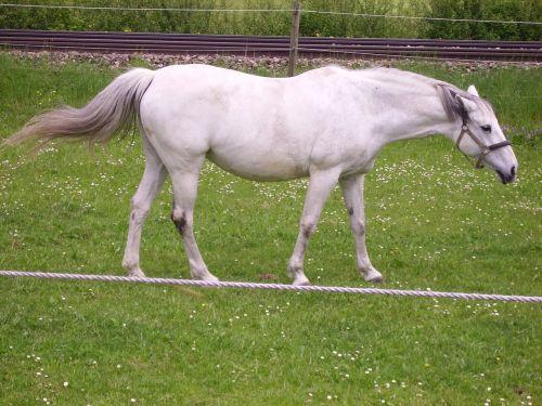 tightrope,horse,mold,pasture,white,animal,coupling,white horse