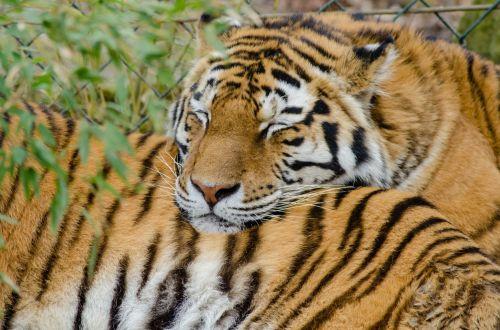 Siberian Tiger, Nap!