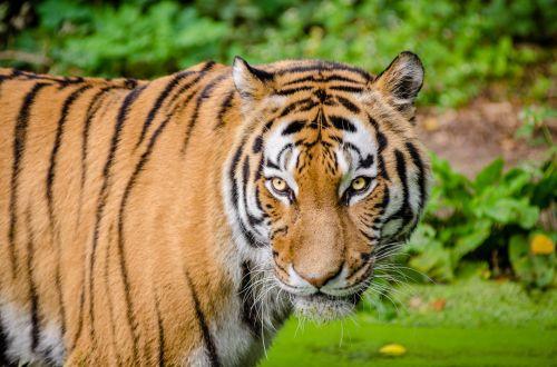 Siberian Tiger, Wildlife