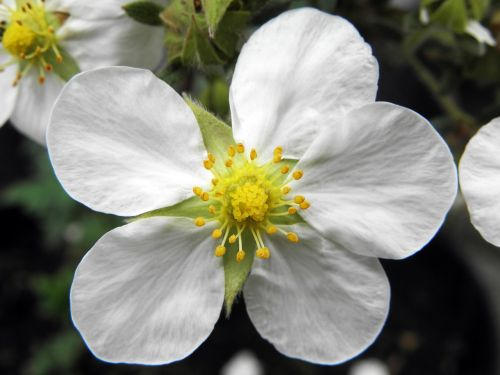 tilfordo grietinėlė cinquefoil,sodas,gamta,balta gėlė,penki žiedlapiai