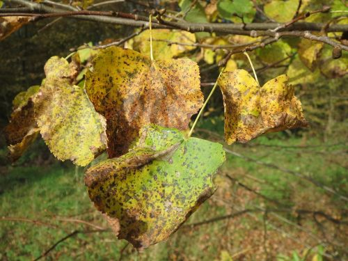 tilia cordata small-leaved lime small-leaved linden