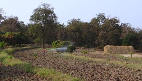 tilled land hay stack mango trees