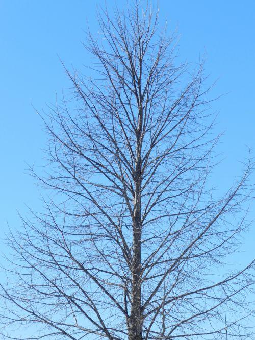 Linden In Winter