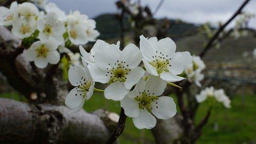 times  pear flower  qha
