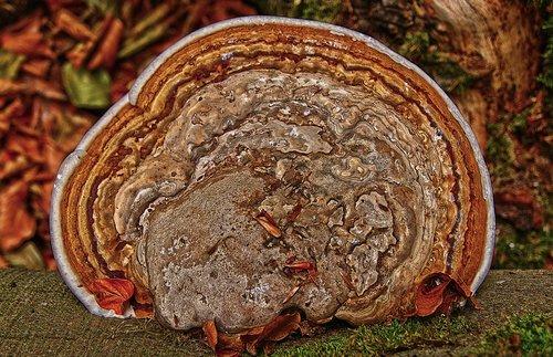 tinder  tree fungus  mushroom