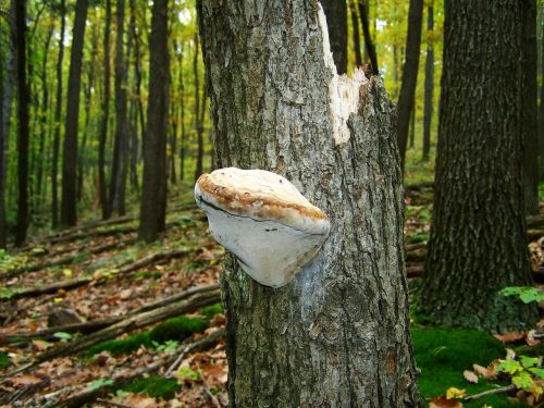 tinder fungus forest nature