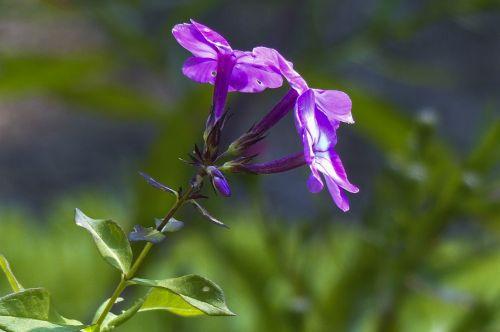 mažas,violetinė,gėlės,sodas,sodininkystė,Iš arti,gamta,vasara,subtilus,trapi,grožis gamtoje,augalas,sezonas