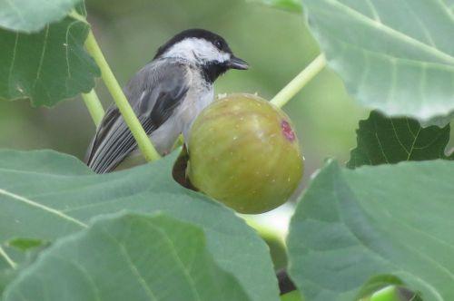 tiny bird chickadee eating fig