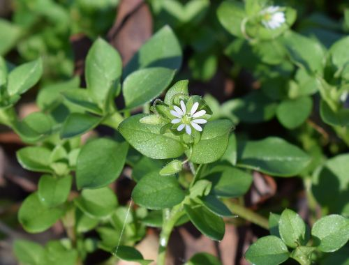 tiny white flower chickweed flower