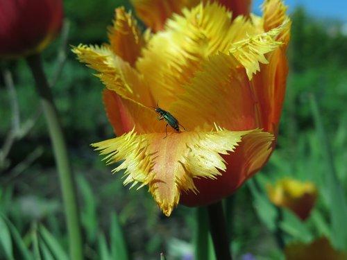 tip beetle  beetle  two blotchy tip beetle
