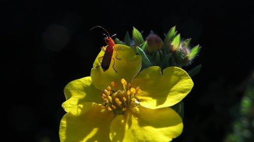 tip beetle  five finger shrub  beetle