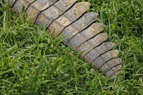 Tip Of Tail Of Nile Crocodile