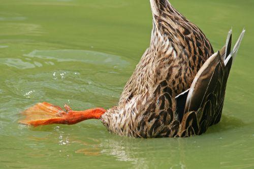 Tipped Over Mallard Duck