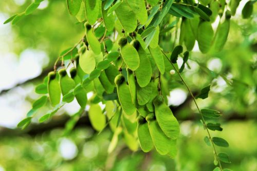 Tipuana Tree Seedpods