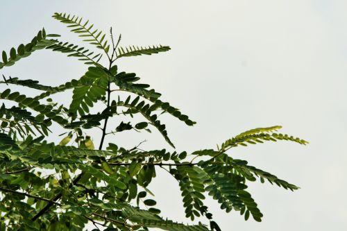 medis, filialas, tipuana, žalias, trejetas, tipuanos medžio viršuje