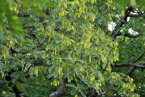 medis, tipuana, sėklos, žalias, sparnuotas, viršūnių medis su sėklomis