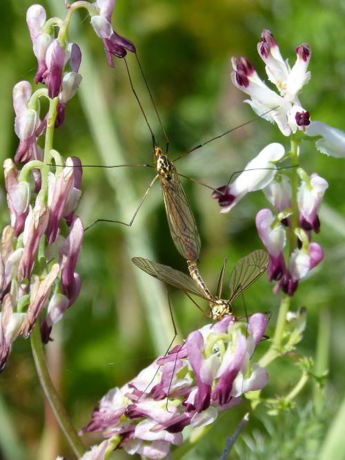 típula mosquito wild flower