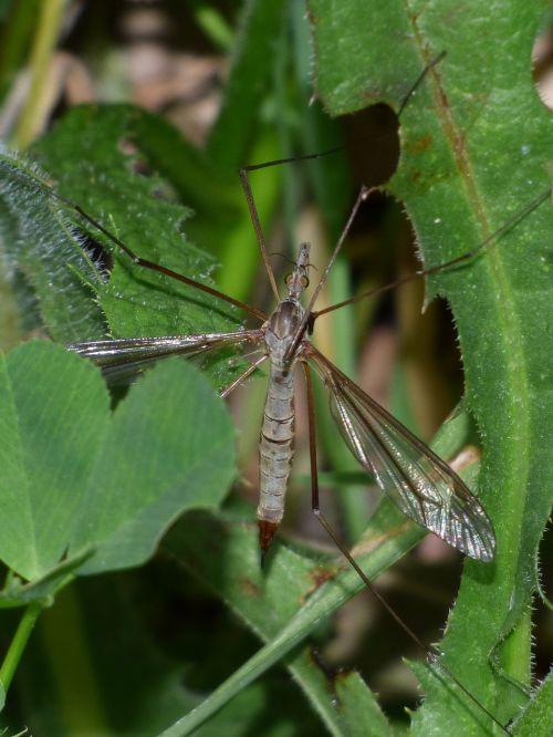 típula giant mosquito tipúlido