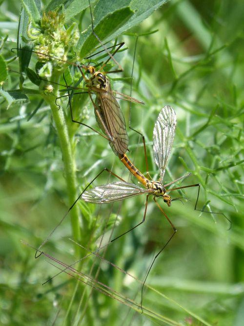 típula tipulidae giant mosquito