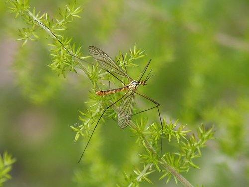 típula  giant mosquito  mosquito