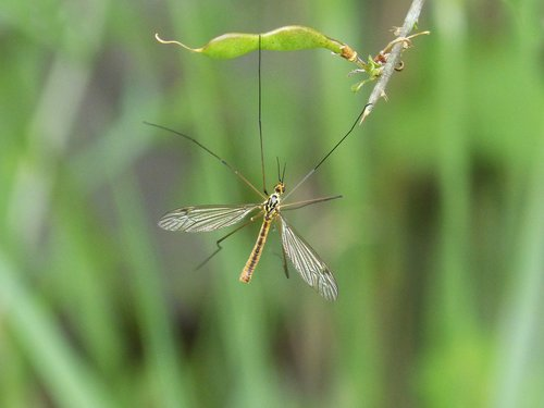 típula  fake mosquito  tipulidae