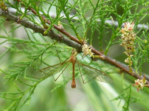 típula  tipúlido  giant mosquito