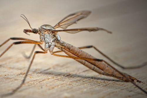 tipulidae schnake bach mosquito