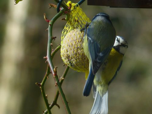 tit blue tit cyanistes caeruleus