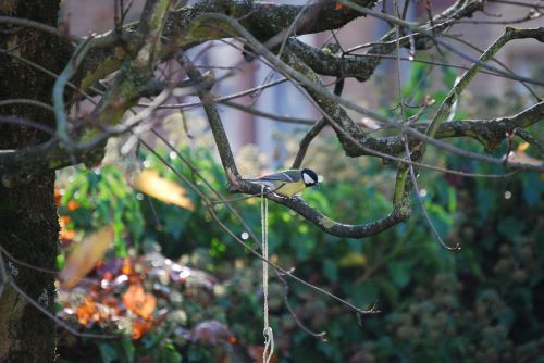 tit small bird songbird