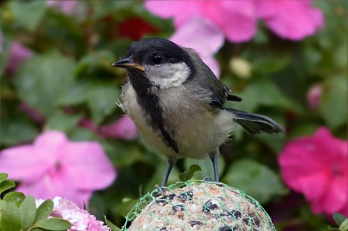 tit parus major bird