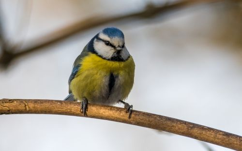 tit cyanistes caeruleus bird