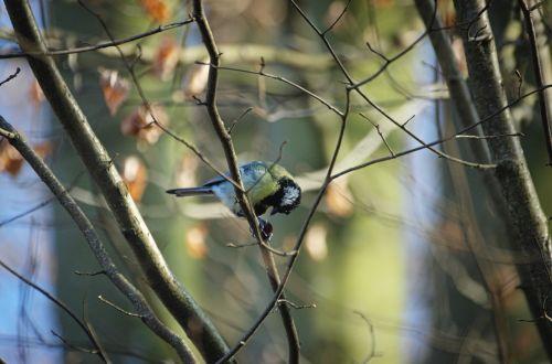 tit paridae songbird