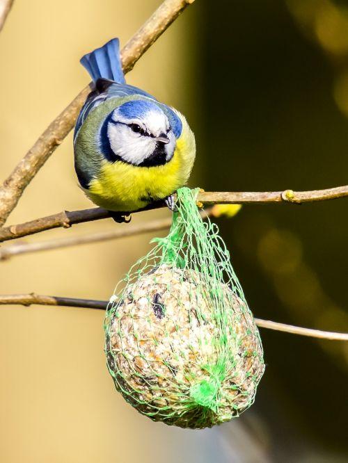 tit blue tit bird