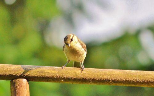 tit bird young bird