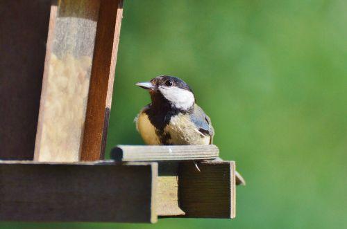 tit bird foraging