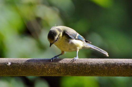 tit songbird bird