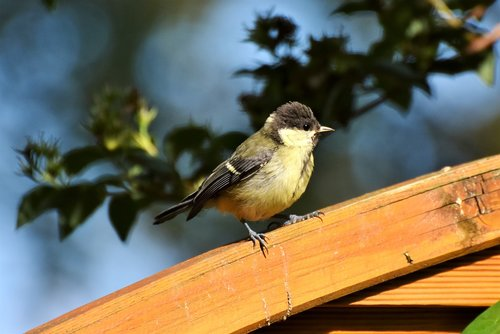 tit  young tit  foraging