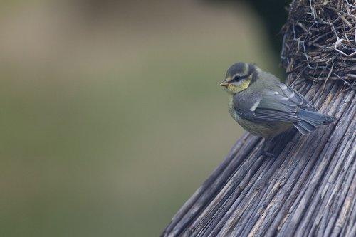 tit  aviary  bird