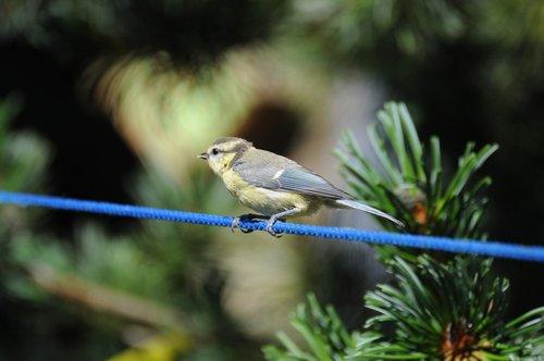 tit  bird  garden