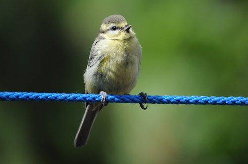 tit  bird  songbird